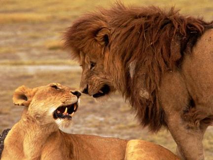 Raja guna lion