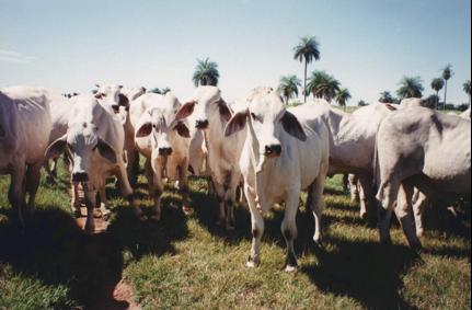 Sattva guna cows